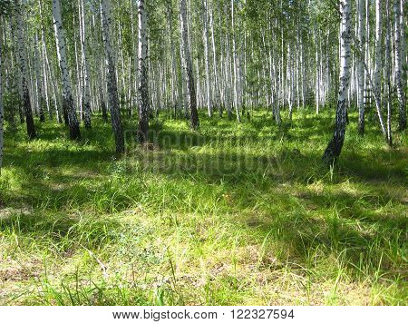 green glade in the birch wood in the summer Russia South Ural