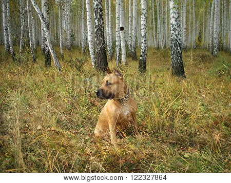 the portrait the American Staffordshire terrier has a rest on glade against the birch wood fall Russia South Ural