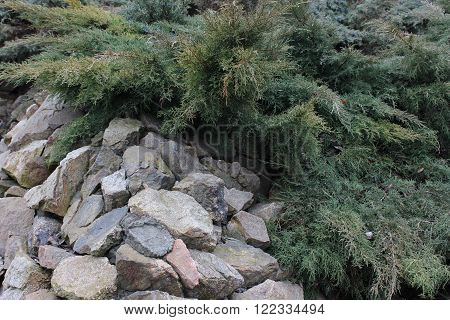 The branches of a sprawling green juniper on rocky stones