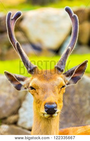 Deer Head Antlers Closeup Face Front Nara Japan