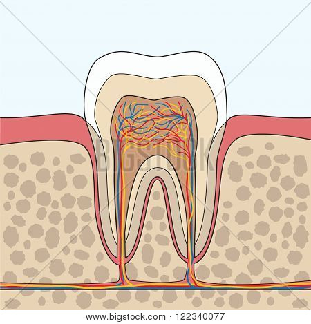 Cross section of tooth gum bone anatomy. Tooth Anatomy. Tooth anatomical depiction. Vector illustration