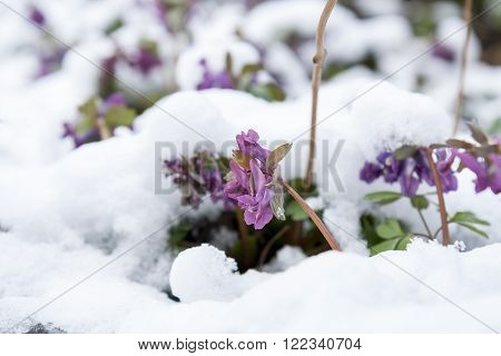 Spring violet hollowroot (corydalis) flower covered with snow, whims of nature