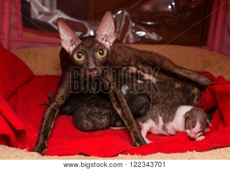 Cat Cornish Rex and kittens in the house