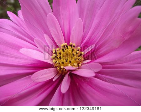 beautiful blooming pink flower closeup with yellow stamens