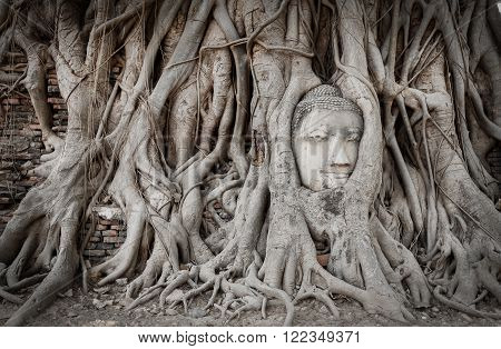 Root covers the head of buddha statue the popular place in Wat Mahathat of Ayutthaya Thailand.