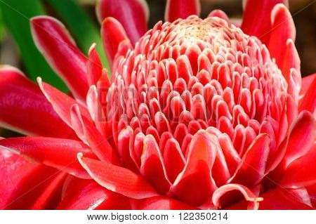 Close up of Blossom red Torch Ginger flower(Etlingera elatior)