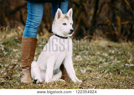 Young Funny White Husky Puppy Dog With Blue Eyes Sit Outdoor In Autumn Park. Puppy Sitting at Feet of a Girl in Boots.