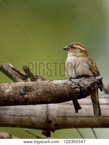he house sparrow (Passer domesticus) is a bird of the sparrow family Passeridae, found in most parts of the world. A small bird, it has a typical length of 16 centimetres (6.3 inches) and a mass of 24-39.5 grams (0.85-1.39 ounces). Females and young birds