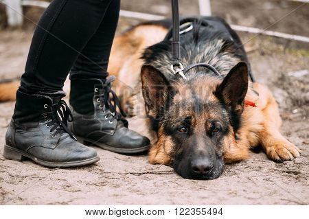 Close Up Sad Brown German Shepherd Dog Lying on Ground Near Woman Feet in Shoes. Alsatian Wolf Dog.