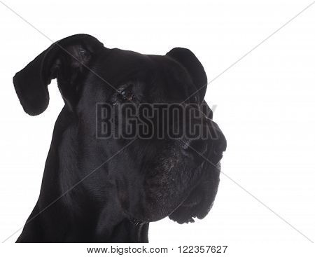 Purebred black Great Dane portrait isolated on a white background