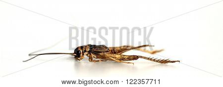 A genuine Field Cricket aka GRYLLUS PENNSYLVANICUS, isolated on white with room for text. Shot with a Close up Macro Lens.