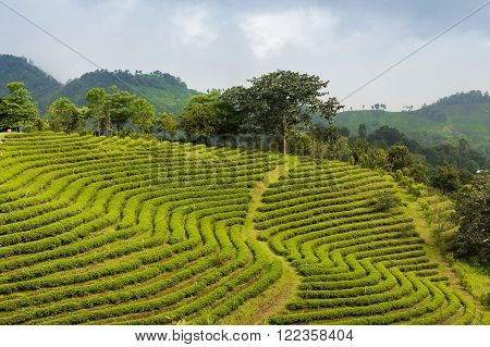 Tea plantation landscape growth in mountain slope, north  of Thailand