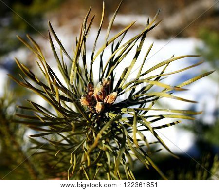The branch of a pine with needles and young spring buds on  the spring snow thaw  background