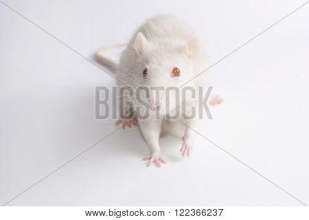 Cute albino rat (on a white backround)