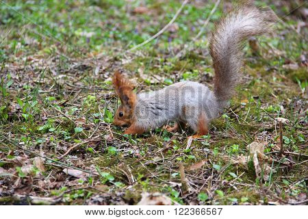 grey squirrel with red ears digs a hole in the ground to hide the nut