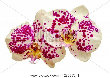 Two White Orchids With Pink Spots Isolated On White
