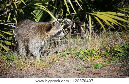 Curious raccoon in the wildlife refuge of St. Marks, Florida