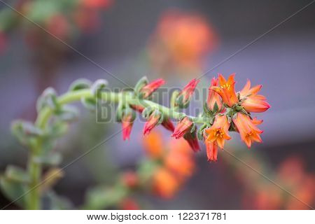Beutiful Orange Blossoms Of Echeveria Pilosa Plant