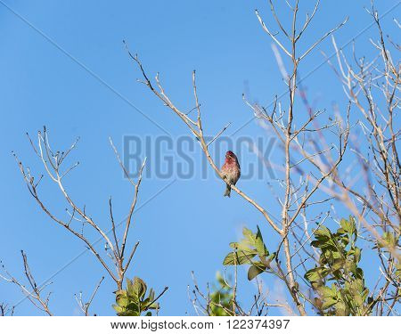 House Finch perched on a curving branch