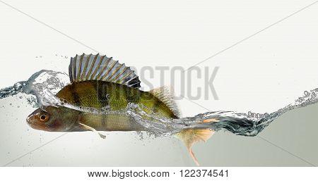 Freshwater fish perch, splashing in clear water.