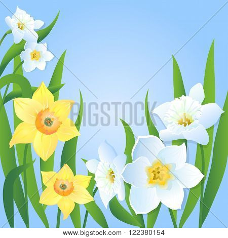 Floral vector illustration. Holiday card with flowers and leaves on a blue background. White and yellow daffodils.Spring flowers.