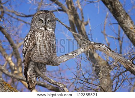Great Grey Owl, camouflaged and perched against a clear blue sky.  Provincial bird of Manitoba, Canada.