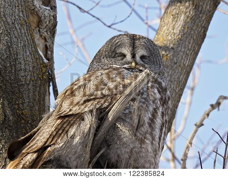 Great Grey Owl, camouflaged and perched in a tree, resting.  Provincial bird of Manitoba, Canada.