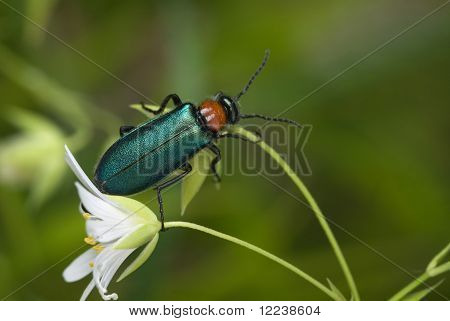 The Green Blister Beetle
