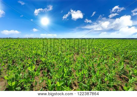 pea agriculture green field and blue sky