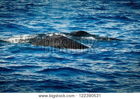Backs of two humpback whales surfacing .