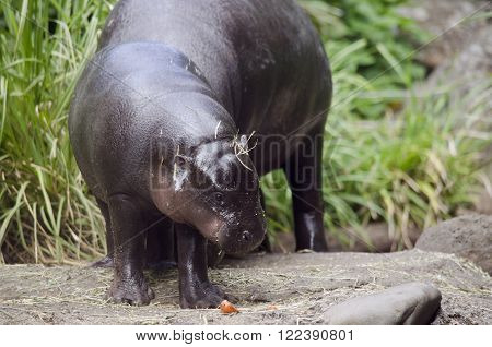 this is a young pygmy hippo eating