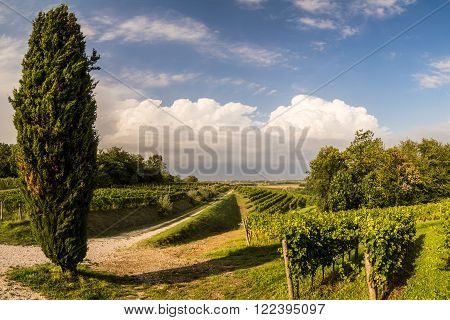 grapevine cultivation in the italian countryside in a stormy summer day