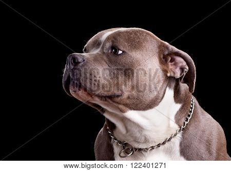 Studio portrait of an american bully dog breed on a black background