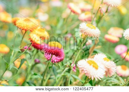 Helichrysum or Straw flower in outdoor garden.
