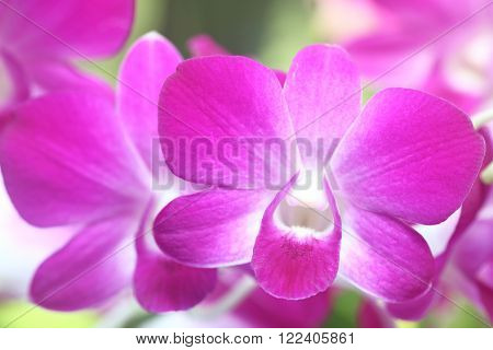 Single Pink dendrobium orchid in full bloom
