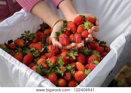 Strawberry,da Lat, Dalat, Fruit, Agriculture