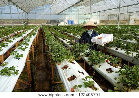 Worker, Strawberry Garden, Dalat, Da Lat