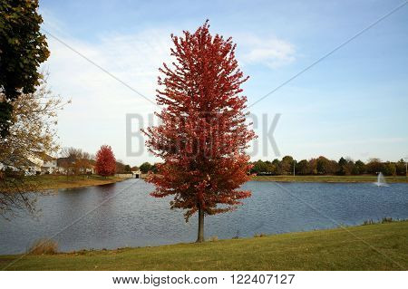 A maple tree with red autumn foliage next to a small, man-made lake in Joliet, Illinois.