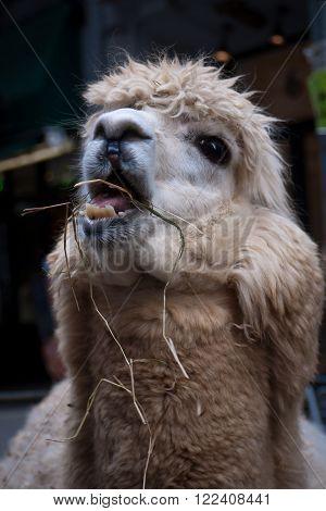 Alpaca tilting its head up to chew hay