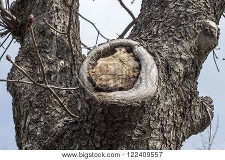 Tree details: bark, a branch cut off and buds