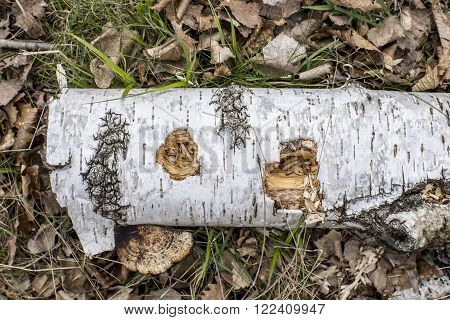 Natural  background with birch branch and mushroom