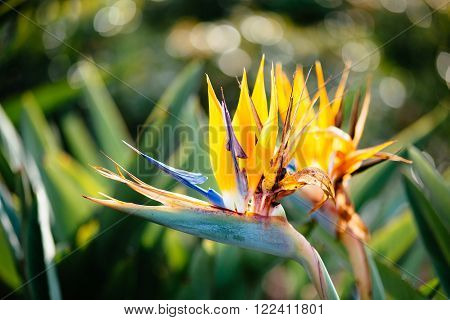 Strelitzia is perennial plant native to South Africa. Common name - bird of paradise flower also a crane flower. Is featured on the reverse of the 50 cent coin. The floral emblem of the City of Los Angeles. ** Note: Visible grain at 100%, best at smaller
