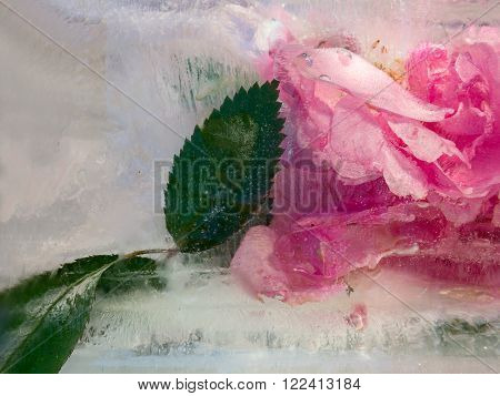 Frozen fresh beautiful flower of rosa and air bubbles in the ice cube