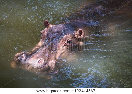 Close up hippopotamus, or hippo, mostly herbivorous mammal in water