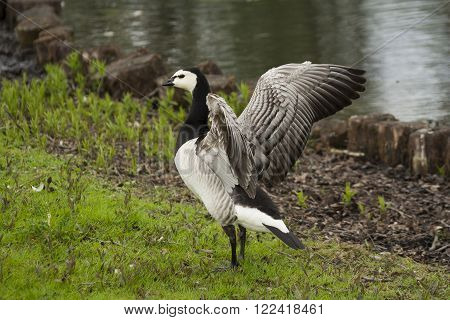 a barnacle goose standing and flapping his wings