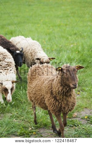 a row of sheep walking up to the camera ** Note: Visible grain at 100%, best at smaller sizes