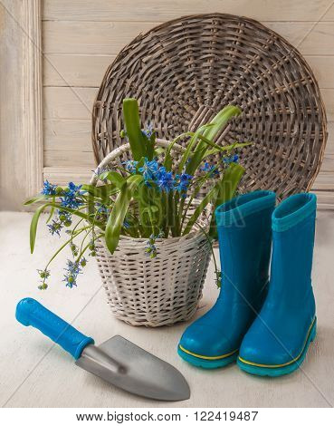 Scilla Siberian on a white basket on background rubber boots