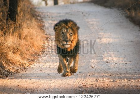 Lion walking towards the camera in the Makalali Game Reserve, South Africa.