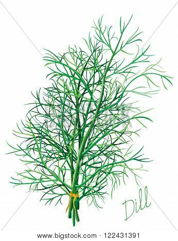 Dill herb leaves on white background. Vector illustrtion