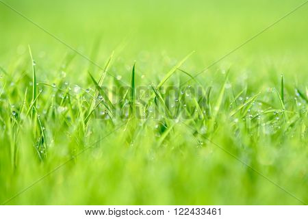 Dewdrop on green grasses (shallow depth of field)